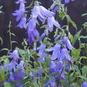 Campanule pyramidale (fleurs bleues) (Campanula pyramidalis)