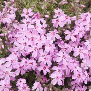 Phlox subulata bonita pink – Lot de 3 godets de 7 cm