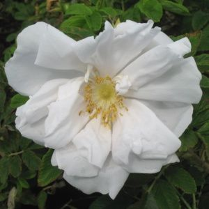 Rosa rugosa 'White perfection'(Rosa rugosa 'White perfection')