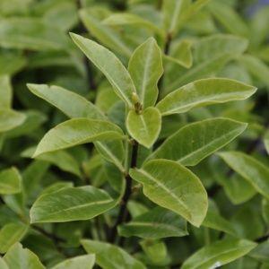 Pittosporum à petites feuilles 'Golf ball'