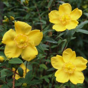 Millepertuis 'Hidcote' – pot de 3 litres. – PLANTES ET JARDINS – Jardinerie en ligne
