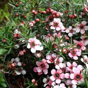 Leptospermum scoparium 'Martini' (Leptospermum scoparium)