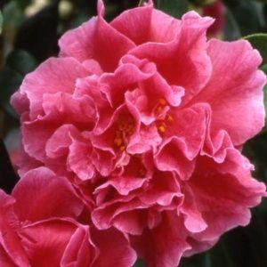 Camélia reticulata 'Début' (Camellia reticulata 'Début')