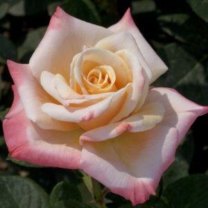 Rosier 'Laetitia Casta®'  (Rosa x 'Laetitia Casta®'  Meilampario)