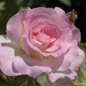 Rosier 'Charles Aznavour'® – PLANTES-et-JARDINS – Jardinerie en ligne