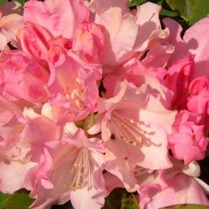 Rhododendron yak Dream Land