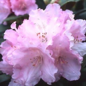 Rhododendron  yak 'Silberwolke'