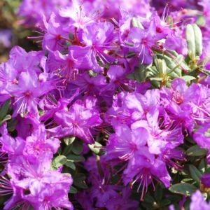 Rhododendron nain 'Blue Silver' – Pot de 3,5 litres, hauteur 25/35 cm, 3 ans d'âge
