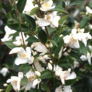 Camélia transnokoensis (Camellia transnokoensis)