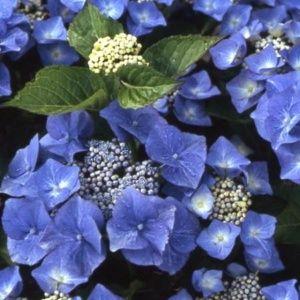 Hortensia 'Blaumeise'  – Pot de 3 litres, 5/7 branches