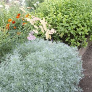 Artemisia schmidtiana nana – Lot de 3 godets de 7 cm