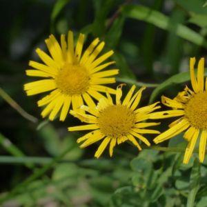 Buphtalmum salicifolium – Lot de 3 godets de 7 cm