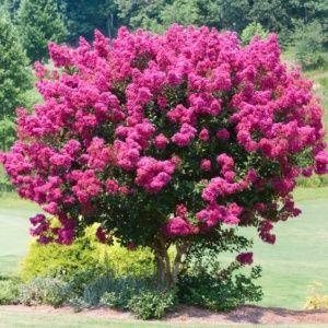 Lagerstroemia 'Bergerac®' – Pot de 3 litres – PLANTES ET JARDINS – Jardinerie en ligne