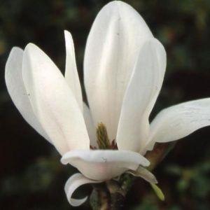 Magnolia grandiflora 'Little Gem' – pot de 25 litres, hauteur 150/175 cm