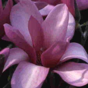 Magnolia greffé 'Apollo' (Magnolia 'Apollo')