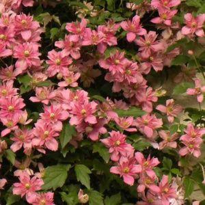 Clématite montana Broughton star