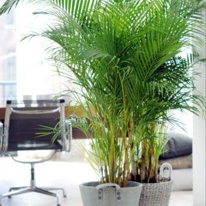 Palmier Areca lutescens (Dypsis)- En pot de 24cm , hauteur 125cm