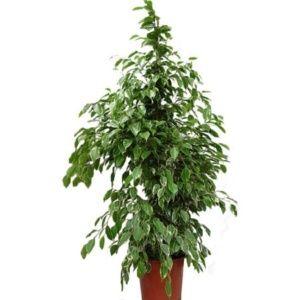 Ficus 'Golden King' – hauteur 150cm – PLANTES ET JARDINS