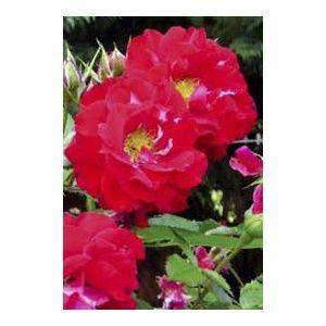 Rosier 'Jardins fruitiers de Laquenexy®' Guijarlaq