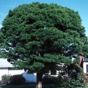 Acacia boule (Robinia pseudoacacia 'Umbraculifera')