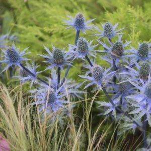 Eryngium planum – Lot de 3 godets de 7 cm