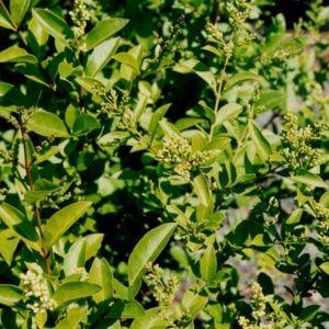 Troène du Japon – Pot 4L – Hauteur 60/80 cm – PLANTES ET JARDINS