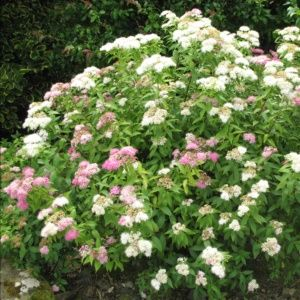 Spirée japonaise 'Shirobana' (Spiraea japonica 'Shirobana')