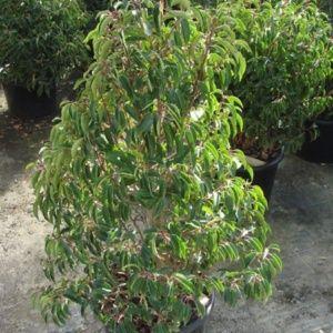 Laurier du Portugal 'Angustifolia' (Prunus lusitanica 'Angustifolia')