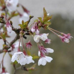 Cerisier à fleurs Kojou no Mai