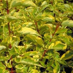 Cornouiller panaché jaune (Cornus alba 'Gouchaultii')