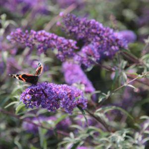 Arbre aux papillons 'Nanho Blue' (Buddleia davidii 'Nanho Blue')