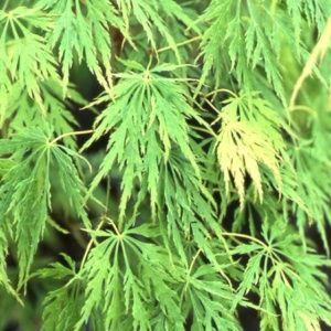 Erable du Japon dissectum 'Flavescens'