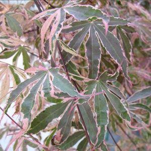 Erable du Japon 'Shirazz' (Acer palmatum 'Shirazz') – Pot de 5 Litres – PLANTES ET JARDINS – Jardinerie en ligne