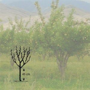 Poirier 'Citron des Carmes'  : taille en gobelet