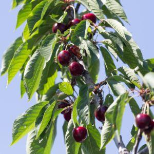 Cerisier Bigarreau 'Regina'  :  taille en gobelet (Prunus cerasus 'Regina')