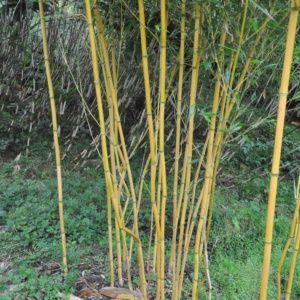 Bambou Phyllostachys aureosulcata 'Aureocaulis' – Pot de 12 L, hauteur 200/250cm – PLANTES ET JARDINS – Jardinerie en ligne
