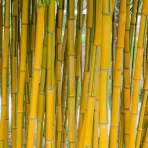 Bambou en pot (12 litres) – Phyllostachys aureosulcata 'Spectabilis' – PLANTES ET JARDINS – Jardinerie en ligne