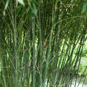 Bambou Phyllostachys bissetii – Pot de 12 litres, hauteur 200/250cm – PLANTES ET JARDINS – Jardinerie en ligne
