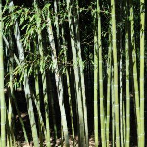 Bambou géant – Phyllostachys nigra 'Henonis'-En pot de 15 litres – hauteur 200/250 cm – pousses comestibles – PLANTES ET JARDINS – Jardinerie en ligne
