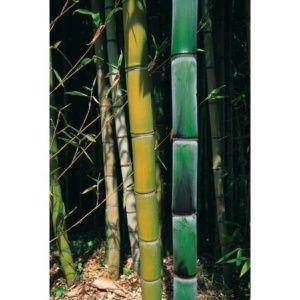 Bambou géant : Phyllostachys viridiglaucescens (Phyllostachys viridiglaucescens )