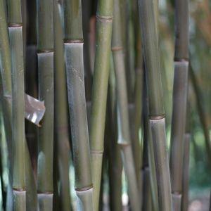 Bambou en pot (30 litres) – Phyllostachys bissetii – hauteur 250/300 cm – PLANTES ET JARDINS – Jardinerie en ligne