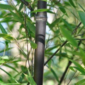 Bambou en pot 30L- Phyllostachys nigra – hauteur 200/250 cm – PLANTES ET JARDINS – Jardinerie en ligne