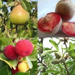 Haie fruitière de climat doux