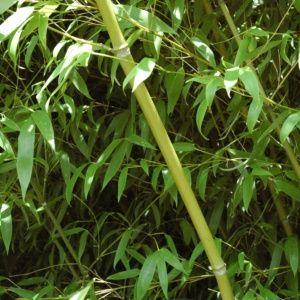 Bambou moyen : Phyllostachys  'Tip Top' – En pot de 7 litres