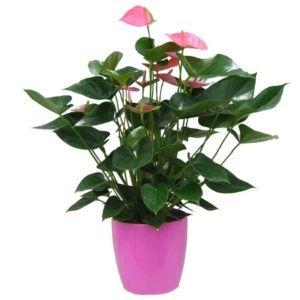 Anthurium rose + cache pot rose (Anthurium x scherzerianum)