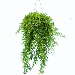 Aeschynanthus japhrolepis – plante verte grimpante – Suspension 14 cm – PLANTES ET JARDINS – Jardinerie en ligne