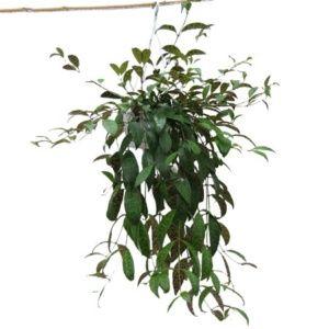 Aeschynanthus – plante grimpante – Marmotarus – hauteur 50/60 cm – plante verte – PLANTES ET JARDINS – Jardinerie en ligne