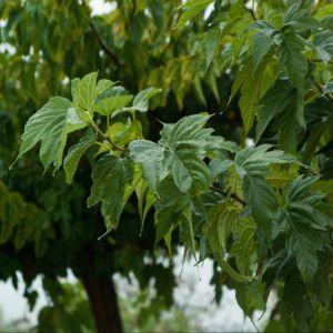 Mûrier platane 'Stérile' (Morus kagayamae 'Stérile') – Racines nues, tige 10/12 cm (circonférence du tronc à 1 m)
