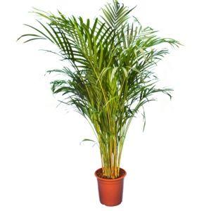 Areca – Palmier d'intérieur- Hauteur 140/150cm – PLANTES ET JARDINS