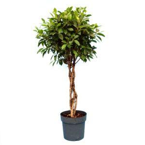 Ficus nitida tressé